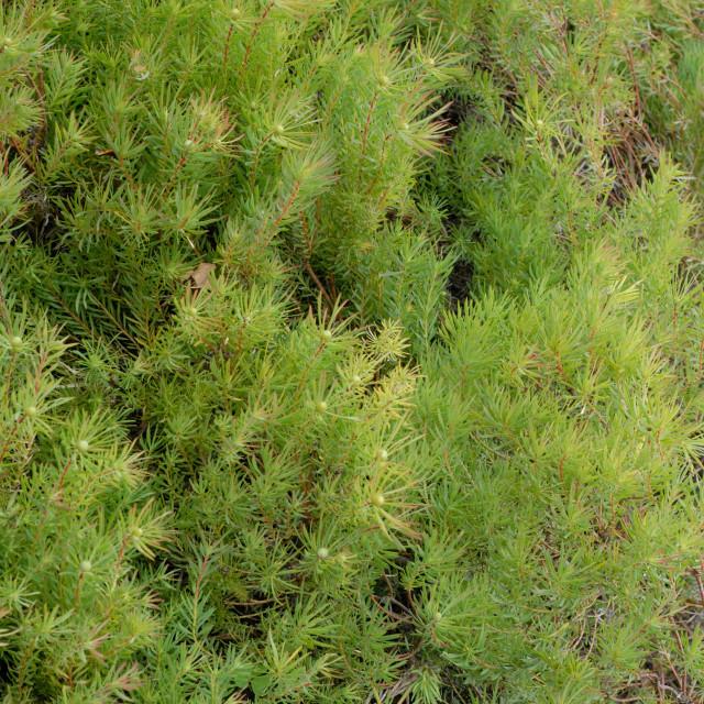 """Cape Town South Africa Kirstenbosch Botanical Gardens: Leucadendron Salignum."" stock image"