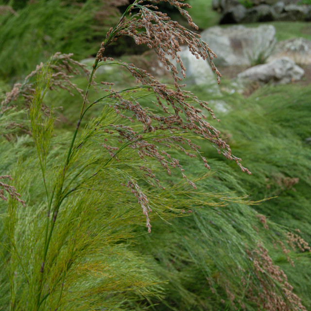 """Cape Town South Africa Kirstenbosch Botanical Gardens: Calopsis Paniculata."" stock image"