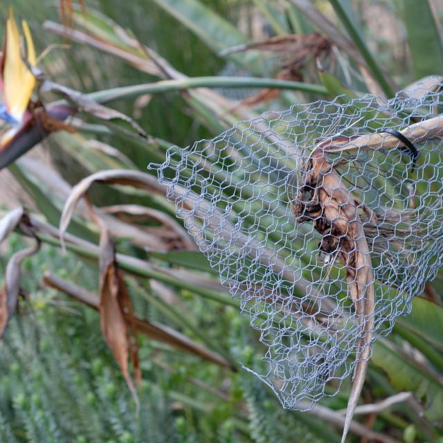 """Cape Town South Africa Kirstenbosch Botanical Gardens: Strelitzia Reginae..."" stock image"