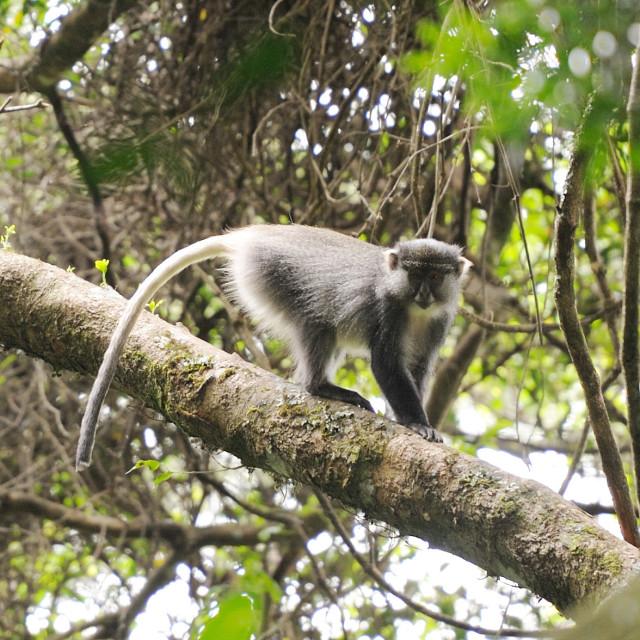 """""""Hogsback South Africa - Samango Monkeys (Cercopithecus mitis) in Tyume..."""" stock image"""