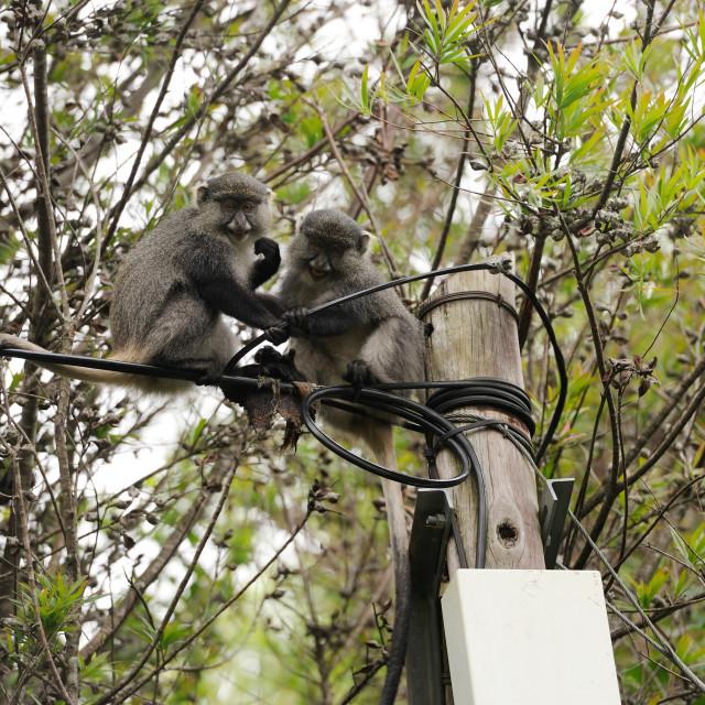 """Hogsback South Africa - Samango Monkeys (Cercopithecus mitis) playing with..."" stock image"