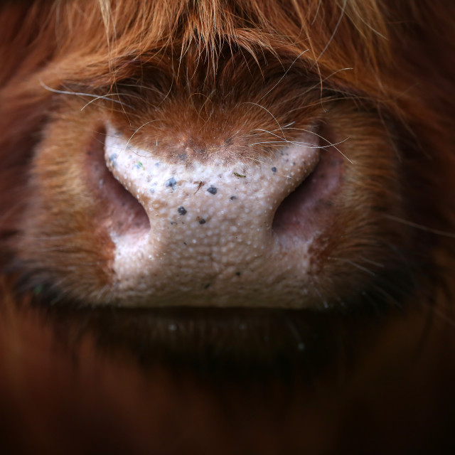 """Aberdeen Angus Cow Nose"" stock image"