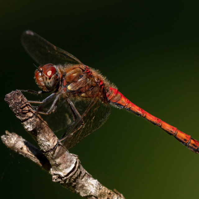 """Resting dragonfly"" stock image"