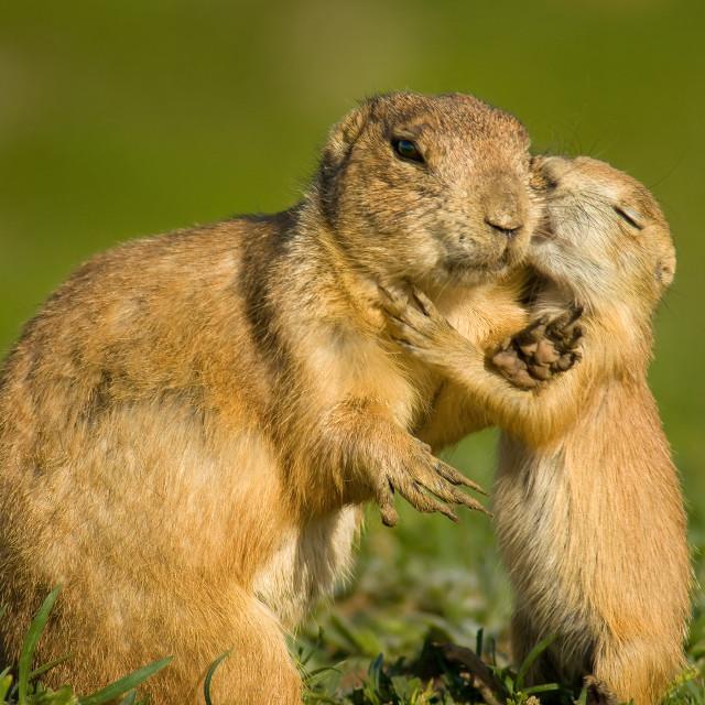 """Prairie Dog Love"" stock image"