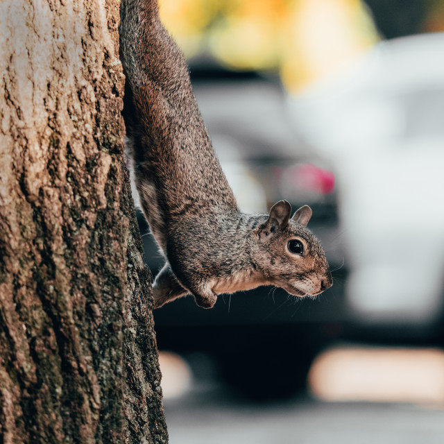 """""""Squirrel climbing tree trunk in city"""" stock image"""