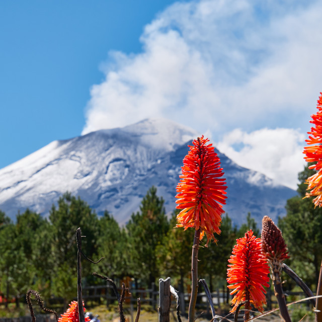 """Torch lily flowers with Popocatepetl volcano"" stock image"