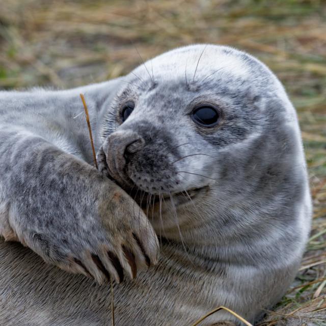 """Grey Seal Pup"" stock image"