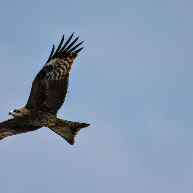 """""""Eagle flying"""" stock image"""