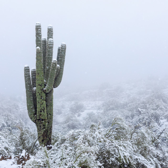 """Arizona desert snow with Saguaro cactus."" stock image"