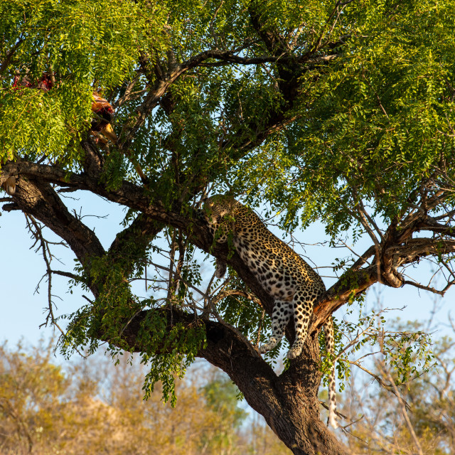 """Leopard in tree resting next to the remains of his kill"" stock image"