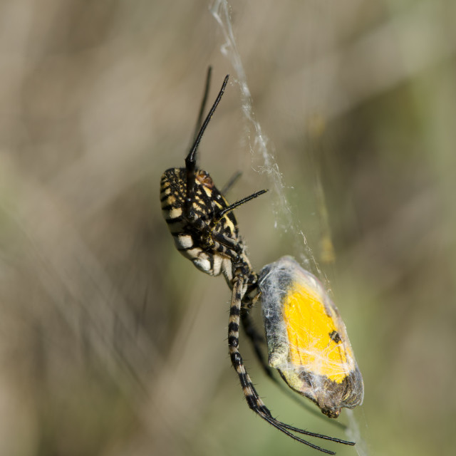 """""""Banded Garden Spider, Argiope trifasciata wrapping up a Clouded yellow."""" stock image"""