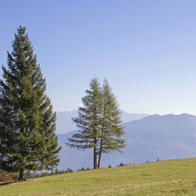 """""""Spruce and larch on mountain meadow"""" stock image"""
