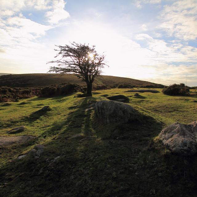 """Dartmoor Hawthorn"" stock image"