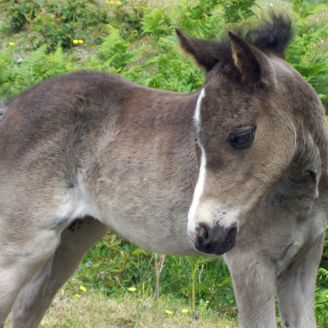 """""""New Forest Foal"""" stock image"""