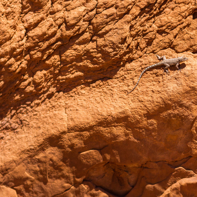 """Lizard on a rock in Canyonlands"" stock image"