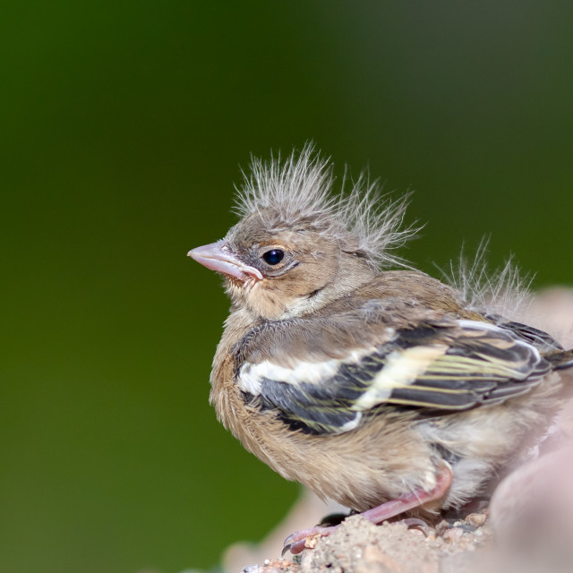 """""""Chaffinch chick"""" stock image"""