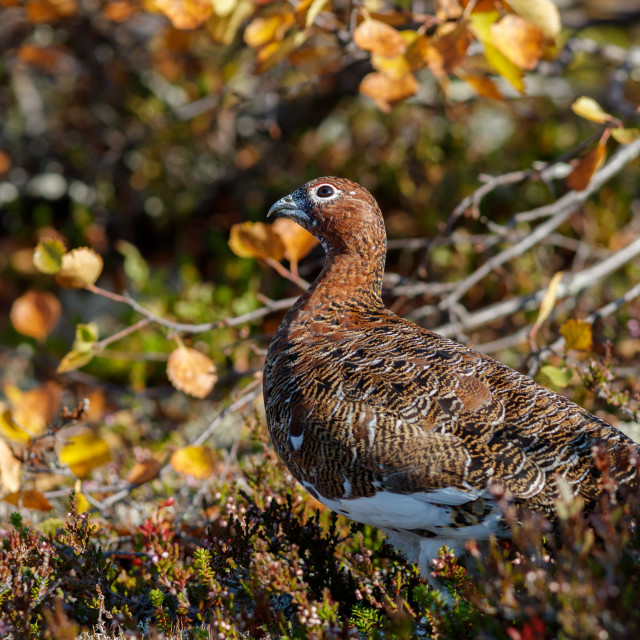 """""""Willow grouse"""" stock image"""