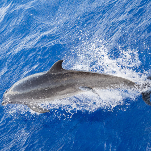 """""""Adult bottlenose dolphin, Tursiops truncatus, with remora attached in Roroia,..."""" stock image"""
