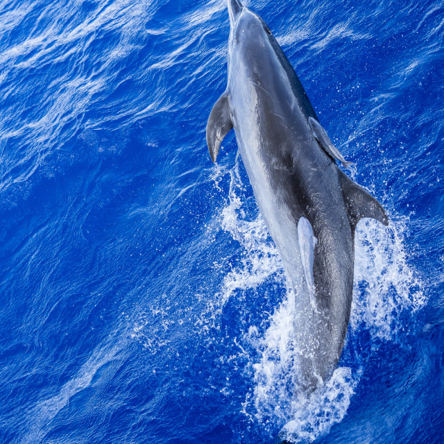 """""""Adult bottlenose dolphin, Tursiops truncatus, with remoras attached in..."""" stock image"""