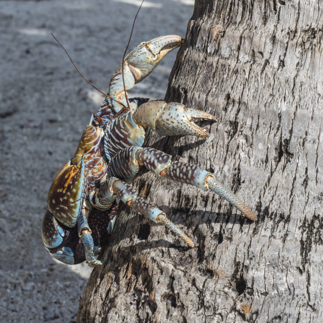 """""""Adult coconut crab, Birgus latro, in the town of Tapana, Niau Atoll,..."""" stock image"""