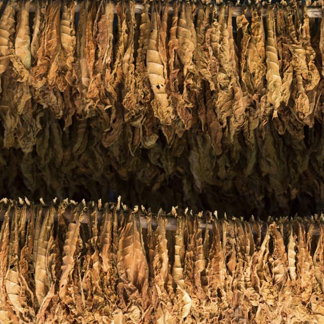 """Tobacco farm for Cuban cigars in Vinales, Cuba"" stock image"