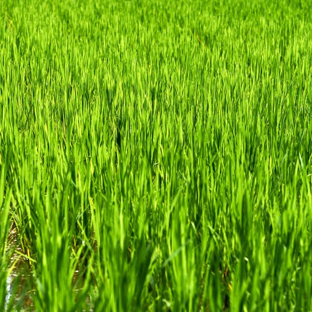 """Green rice fields in Ubud."" stock image"