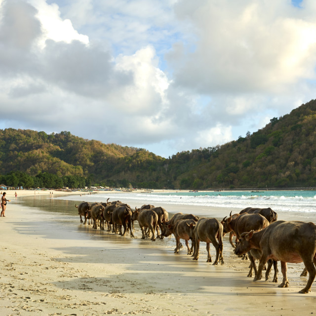 """""""Herd of buffalo crossing Selong Belanak Beach, a daily occurrence as they..."""" stock image"""