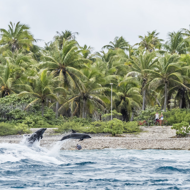 """Adult common bottlenose dolphins, Tursiops truncatus, leaping near shore,..."" stock image"