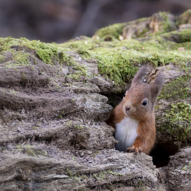 """""""Red Squirrel appearing through hole in log"""" stock image"""