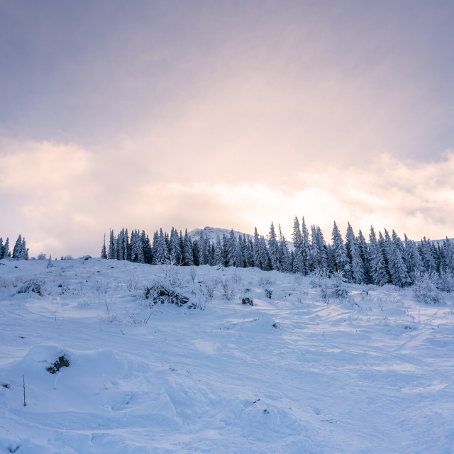 """""""Forest pine trees in winter covered with snow in evening sunligh"""" stock image"""