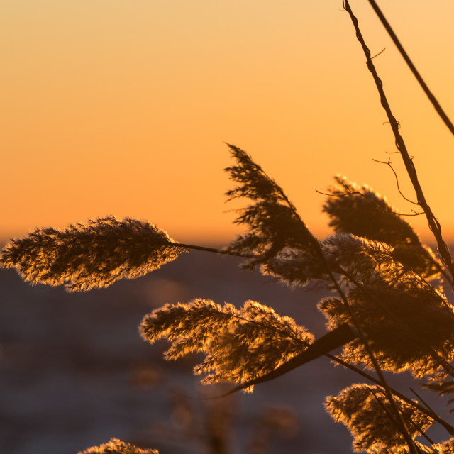 """Fluffy reed flowers by sunset"" stock image"
