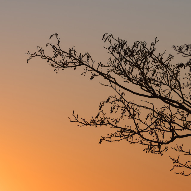 """Alder tree branches by sunset"" stock image"