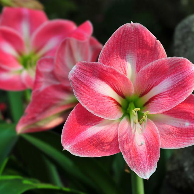 """""""Red Amaryllis flowers"""" stock image"""