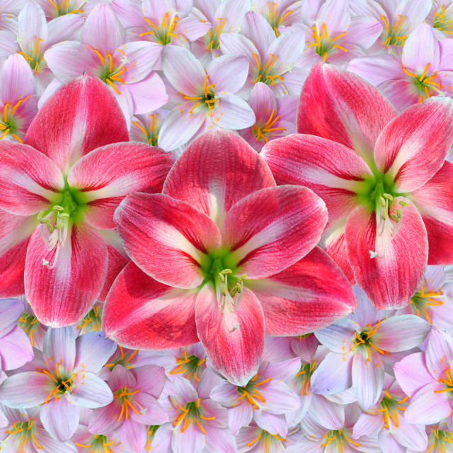 """""""Red Amaryllis flowers over pink Zephyranthes rosea flowers."""" stock image"""