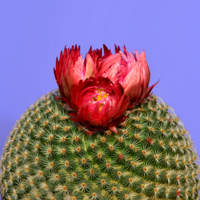 """""""Close-up of a round cactus with red flower"""" stock image"""