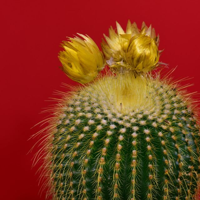 """""""Close-up of a cactus with yellow flowers"""" stock image"""