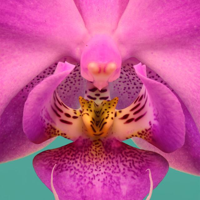 """Dendrobium Orchid"" stock image"