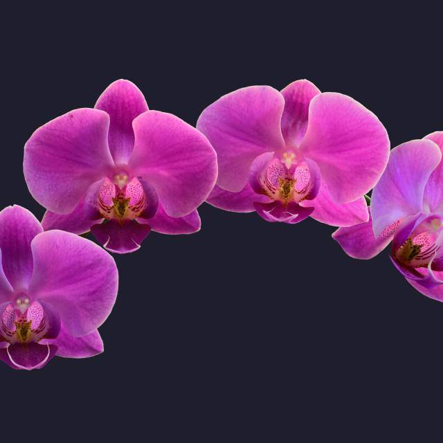 """Dendrobium Orchids"" stock image"