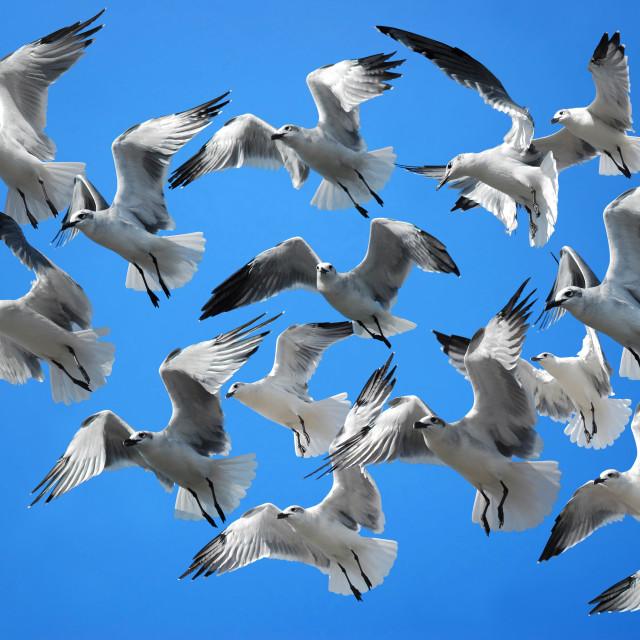 """Flock of birds (seagulls)"" stock image"