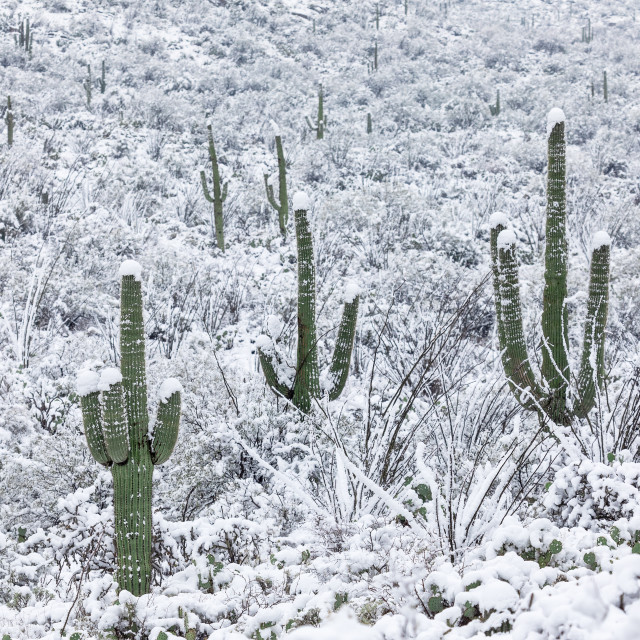 """Saguaro cactus in snow"" stock image"