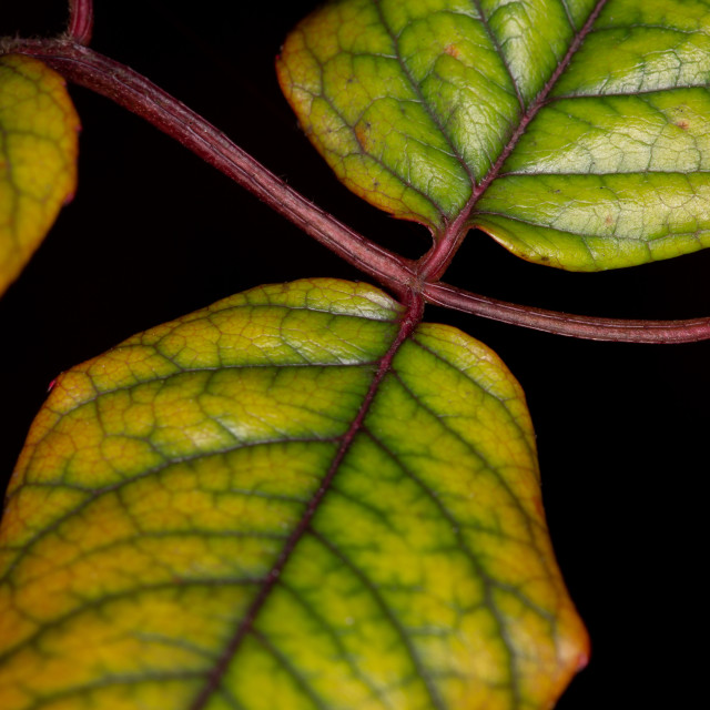 """Rose Leaves Interchange"" stock image"