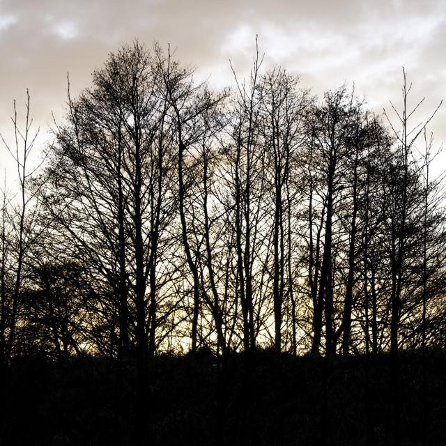 """Winter Trees on Ridge"" stock image"