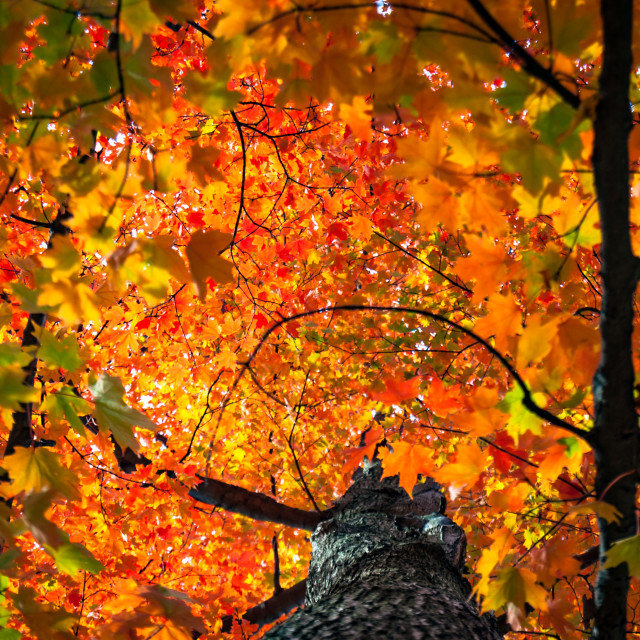 """""""The Autumn Red"""" stock image"""