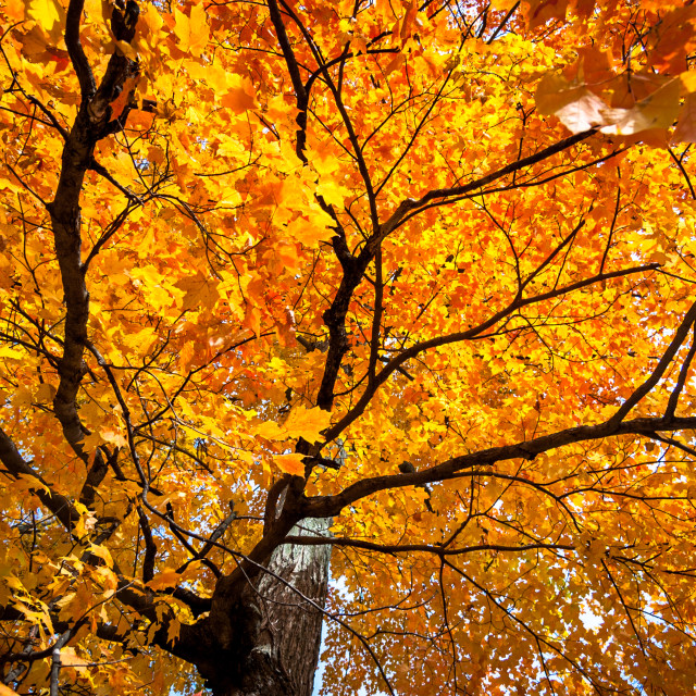 """Golden Maple"" stock image"