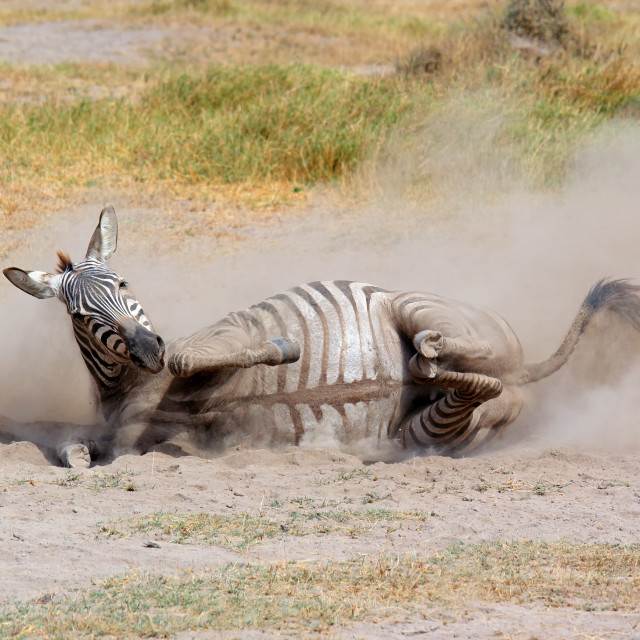 """Plains zebra rolling in dust"" stock image"