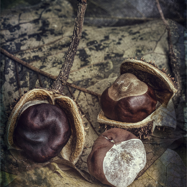 """Conkers and Leaves"" stock image"