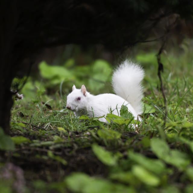 """Albino Gray Squirrel, Eastbourne, Sussex, England"" stock image"