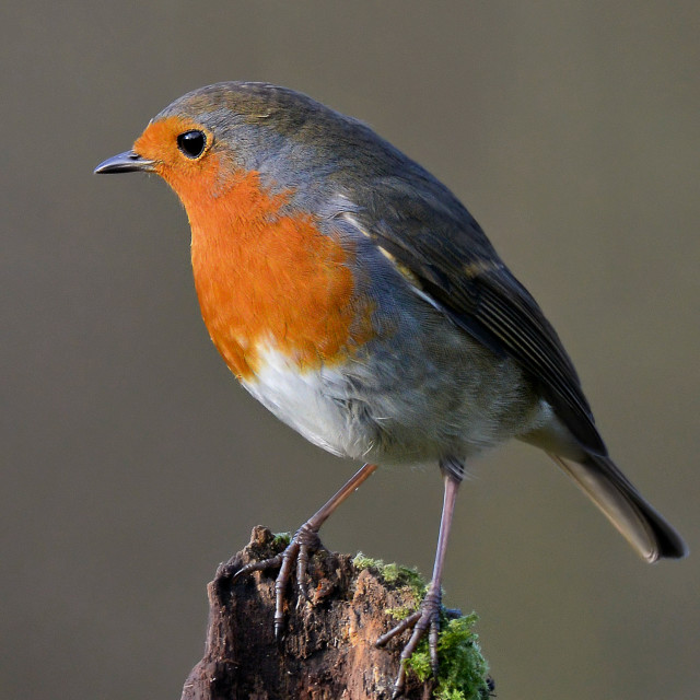 """robin on a mossy perch."" stock image"