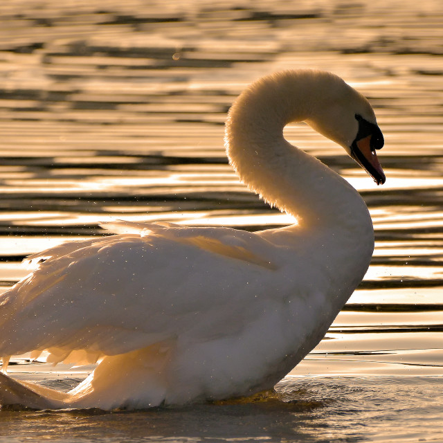 """swan at sunset."" stock image"
