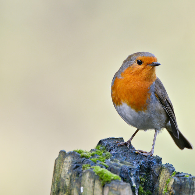 """robin on a post."" stock image"